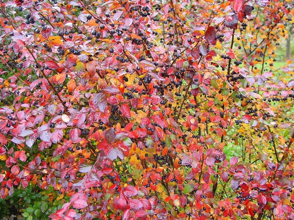 Осенний сад яркие красные ягоды на